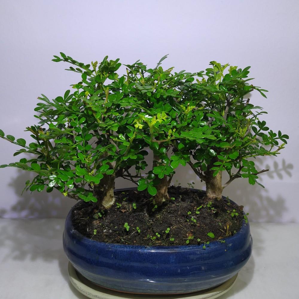 Μπονσάι Zanthoxyllum