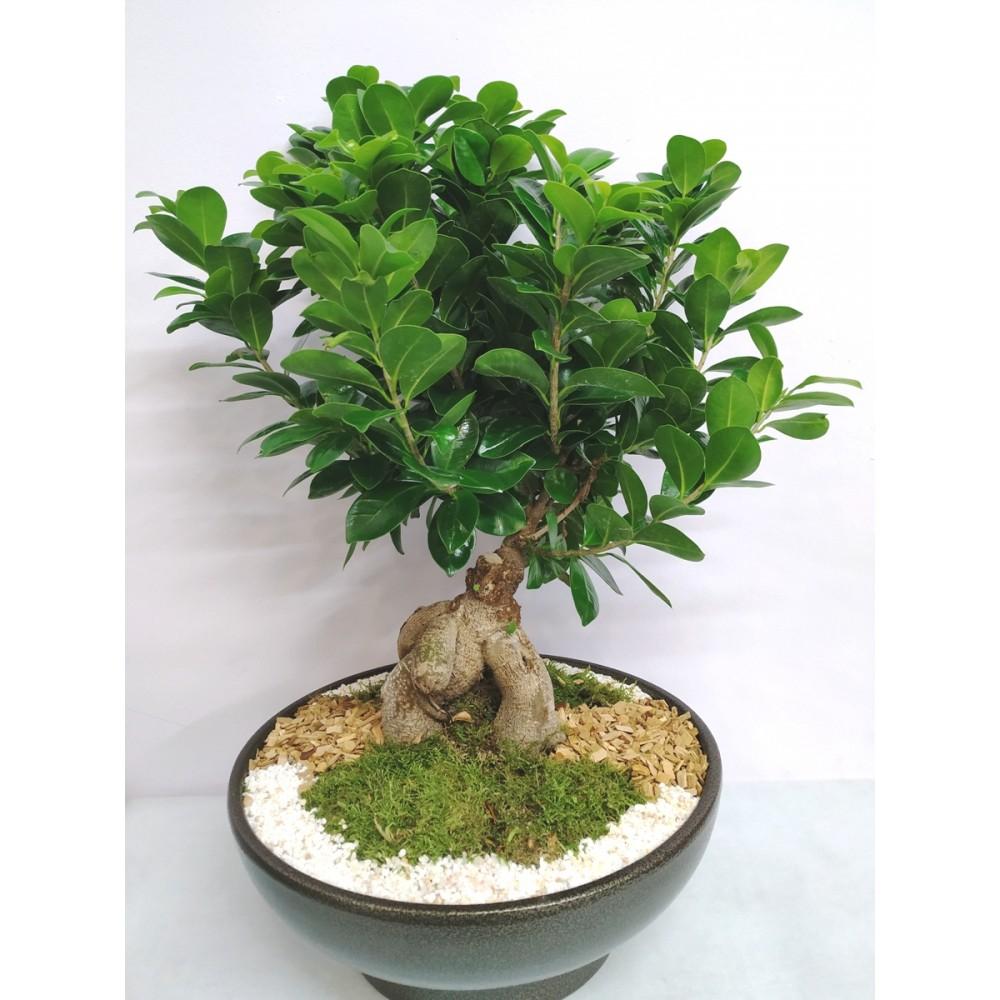 Bonsai σε πιατέλα 35