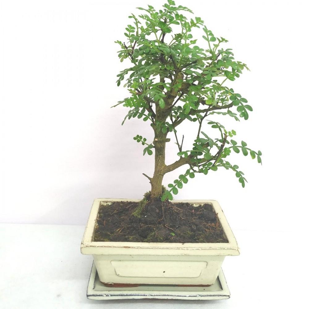 Bonsai zanthoxilum