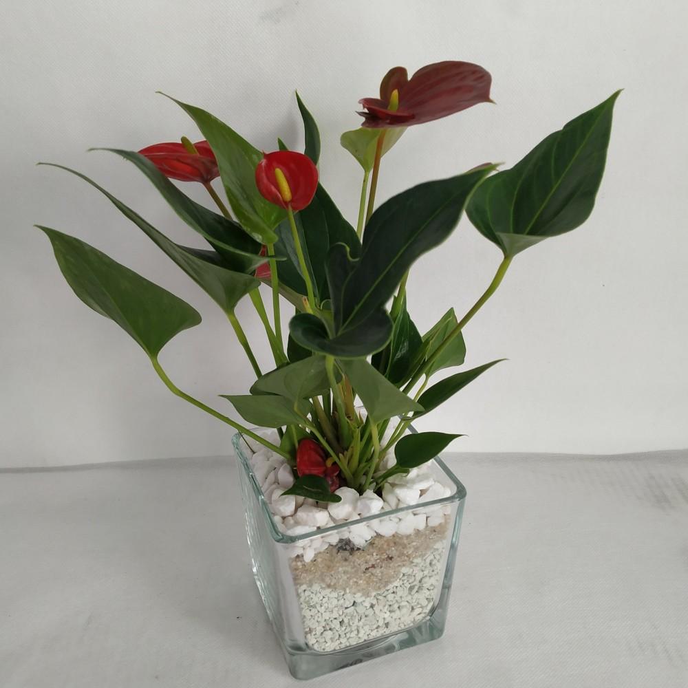 Φυτό ανθούριο σε γυαλί