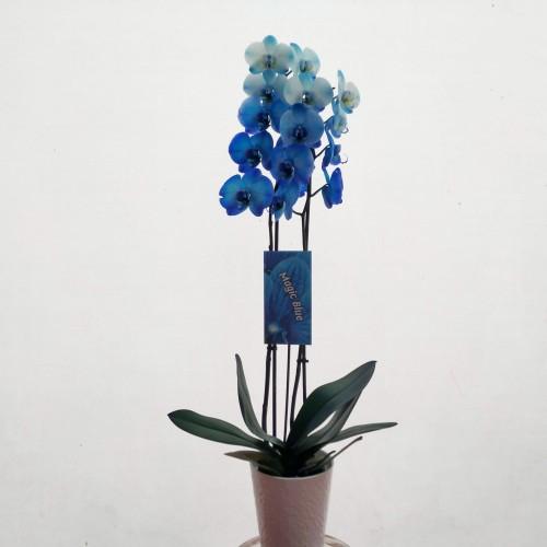 Ορχιδέα Magic Blue
