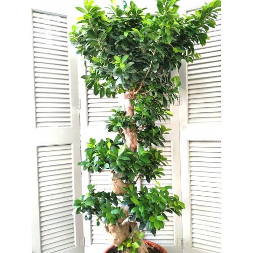 Bonsai 180cm