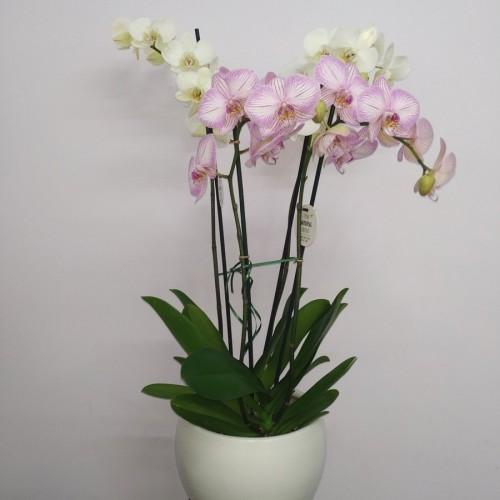 Ορχιδέα  Phaelenopsis   Διπλή