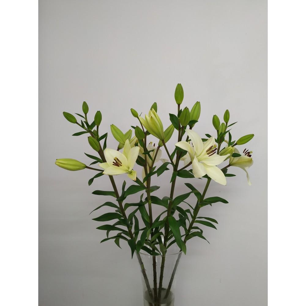Λίλιουμ λευκά